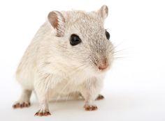 Fondo de Pantalla de Ratón, Hamster, Rata, Bigotes, Mascota, Patas, Uñas, Roedor