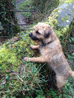enjoying a walk in Billberry Woods. Terrier Breeds, Terrier Dogs, Terriers, Baby Dogs, Dogs And Puppies, Doggies, Patterdale Terrier, Norfolk Terrier, Best Dog Breeds