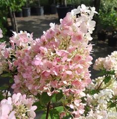 Pink Diamond Hydrangea is an attractive variety of pinnacle hydrangea. 30 centimeter long cone-shaped white flowers bloom mid to late summer and turn to pink.