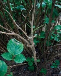 Pruning Hydrangeas: Regular removal of a few of the oldest canes at the soil line can keep the shrub vigorous, producing large and abundant flowers. The same method can keep a shrub from getting too tall by targeting the tallest canes for removal. Hydrangea Tree, Hydrangea Colors, Hydrangea Not Blooming, Hydrangea Garden, Hydrangea Shrub, Pruning Hydrangeas, Hydrangea Landscaping, Planting Flowers, Landscaping Ideas