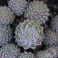 Sempervivum 'Wendy' Perfect for me :) Types Of Succulents, Cacti And Succulents, Planting Succulents, Cactus Plants, Planting Flowers, Propagating Succulents, Succulent Gardening, Alpine Garden, Easy Plants To Grow
