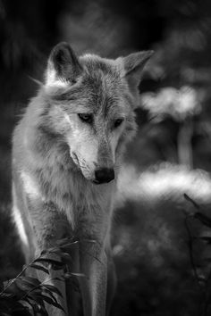 Wolf! - SAVE THE WOLVES
