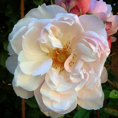 The Generous Gardner, David Austin rose.