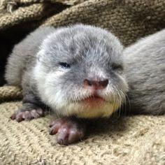 福岡市動物園ブログ: コツメカワウソの赤ちゃん。生後1ヶ月の成長記