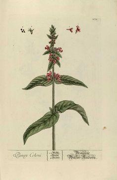 """Una variedad de ginseng, una planta cuyos efectos medicinales  son aceptados algunas veces por la medicina tradicional y otros solo por la popular. (Panax coloni) """"Herbarium Blackwellanium""""  Nüremberg 1757"""