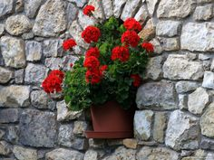 Potted geraniums in granite wall Potted Geraniums, Red Geraniums, Summer Flowers, Red Flowers, Beautiful Flowers, Flower Planters, Flower Pots, Potted Flowers, Outdoor Flowers