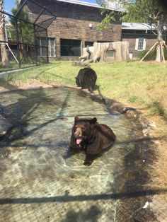 Our countdown to the grand opening of Florida: Mission Everglades continues on this totally #TongueOutTuesday with the exhibit's bears. Makes sense because we can BEARILY wait for the weekend. Who's coming?? (Photo by keeper Jenny Roath)