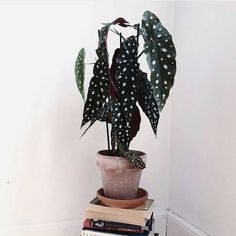Speaking of unique plants: the begonia maculata. With large hanging leaves … – House Plants Bloğ Unique Plants, Rare Plants, Cool Plants, Green Plants, Potted Plants, Plantas Indoor, Begonia Maculata, Decoration Plante, Plants Are Friends