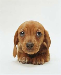 """Dachshunds have the best puppy dog eyes out of every dog breed and they strategically use them to get more cuddles and treats. These dachshunds have perfected the """"puppy dog eyes look"""", how could you say no to these faces? Cute Puppies, Cute Dogs, Dogs And Puppies, Puppy Dog Eyes, Dog Cat, Pet Pet, Pet Puppy, Cute Baby Animals, Funny Animals"""