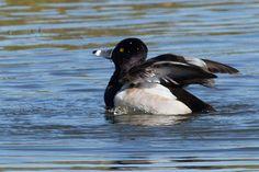 Ring Necked Duck at the Yamato Scrub in Boca Raton, Florida, USA.  See more pics from the Yamato Scrub at https://flic.kr/s/aHsjYLZPg5  Like it? Tip it! http://smalagodi.tip.me www.onename.io/malagodi