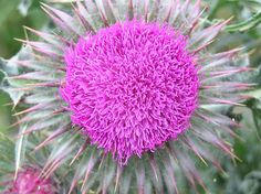 Spear Thistle Dandelion, My Photos, Flowers, Plants, Dandelions, Plant, Taraxacum Officinale, Royal Icing Flowers, Flower