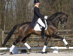 Sandreo 2000 Bay 170cm Dutch Warmblood stallion by Sandro Hit. Approved: KWPN, NRPS, Oldenburg, Wesfalen, Hanoverian