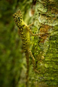 Well camouflaged lizard - Little Andaman, Andaman Islands, India