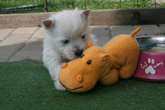 .Westie pup and stuffed hippo