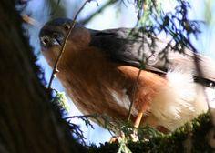 Afrikaanse sperwer - Accipiter rufiventris