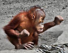 Kung Fu Orangutang by Klaus Wiese Cute Funny Animals, Funny Animal Pictures, Cute Baby Animals, Animals And Pets, Baby Gorillas, Baby Orangutan, Primates, Tai Chi Chuan, Cute Monkey