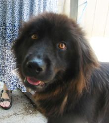 Meet Laurel, she is a young Border Collie/Newfoundland mix. She is as sweet as they come, she loves people, and is the happiest when her family is home with her. She is not a big fan of crates, and has learned that there are really awesome goodies on the counters, but she's working on waiting her turn. She is fine with cats, and would probably do best in a home with another dog, as she like the company when her foster mom has to go out. She was totally ok with getting her feet wet...