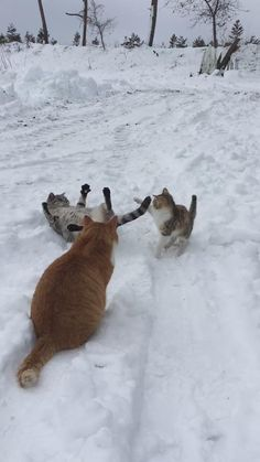 These kitties seem to be having a great time playing on the snow...