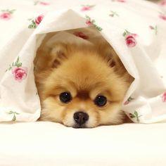 HELLO みんな今何にはまってるぼくはラブちゃんのおちりの匂いを強引に嗅ぐことかなぁクンクン() #pomeranianworld #pets_of_our_world #east_dog_japan #igclub_dogs #cs_animals ##petoftoday #ig_circle #nature_cuties #lacyandpaws #splendid_animals #dog_features #animalsmood #animalglobe #petco #petshop_ru #anmalsco #petgiftbox #petsmartcart #barkpack #pawpack #topdogphoto #weeklyfluff #ruffpost #feature_do2 #dailyanmls #placingpets #clubpixel #animalsturk by jurijuri0816