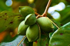 17 AWESOME BENEFITS OF THE TROPICAL ALMOND