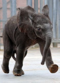 Rungwe, the first elephant born from artificial insemination in France, takes its first steps, on August 6, 2012 at the Beauval zoo, in Saint-Aignan-sur-Cher, central France. The African elephant, named after a volcano in Tanzania, was born on July 20 after a gestation of about 23 months. This is the first small for her mother, N'Dala, 23.    AFP PHOTO/JEAN-FRANCOIS MONIERJEAN-FRANCOIS MONIER/AFP/GettyImages Photo: JEAN-FRANCOIS MONIER / AFP