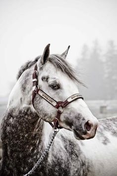 This horse is beautiful! Stunning Appaloosa in misty snowy day.