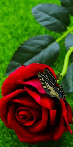 Good Morning Rose Images, Good Morning Beautiful Flowers, Good Morning Roses, Beautiful Flowers Garden, Beautiful Gif, Beautiful Butterflies, Amazing Flowers, Beautiful Roses, Roses Gif