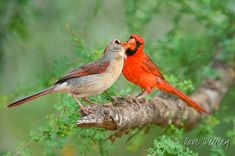 Cardinal pair, just happily married.    http://tanqueverderanch.com/