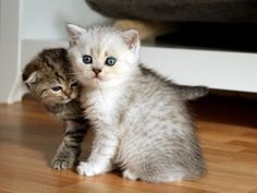 British Shorthair and Scottish Fold Kitten | Cattery vom Zarentiger | www.zarentiger.de
