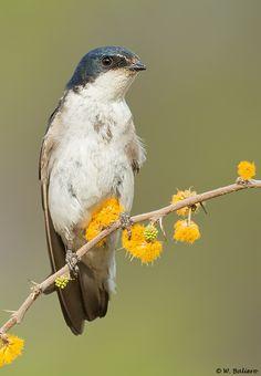 Golondrina Chilena - Chilean Swallow (Tachycineta meyeni) | Flickr - Photo… Small Birds, Colorful Birds, Watercolor Animals, Beautiful Birds, Beautiful People, Wild Birds, South America, Flora, Exotic