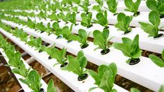 Hydroponic Gardening In this video we talk about hydroponics and how you can grow crops such as lettuce fast and easy. This gardening method is changing the . What Is Greenhouse, Greenhouse Farming, Hydroponic Farming, Hydroponic Growing, Hydroponic Shop, Hydroponic Supplies, Grow Organic, Organic Plants, Aquaponics System