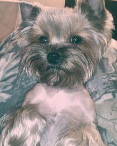 Have a good day friends! Asuka the #Yorkie #yorkeezz #yorkiegram #yorkshireterrier #dog #pet #yorkiediary #yorkielife #yorkiesarethebest #instayorkie #petstagram #dasuberdog #dogstagram #йорки #йоркикручевсех #йоркирулят #йоркширскийтерьер #собаки #псы #собакадругчеловека