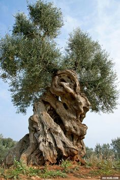 "This is a millenary olive tree in Puglia, Italy. These trees are curable, but the EU has decided to limit them. ""To jest millenary drzewo oliwne w Puglia, Włochy. F ** k you EU. Giant Tree, Big Tree, Jardim Natural, Foto Nature, Weird Trees, Twisted Tree, Unique Trees, Old Trees, Tree Roots"