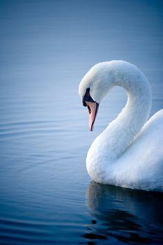 White Swan on the Ohio River Swan Love, Beautiful Swan, Beautiful Birds, Animals Beautiful, Cute Animals, Majestic Animals, Swans, White Swan, All Birds