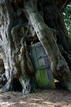 The Crowhurst Yew in Surrey. The door was in place before 1850. Yes; it really is on a drunken angle.    This ancient yew tree is thought to be up to 4000 years old. Despite the trunk being hollow, the tree appears to be in good health.