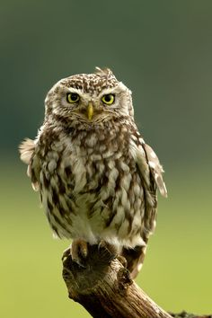 Little Owl by Giedrius Stakauskas on 500px