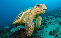 Turtles 'face extinction' without marine protection - Telegraph