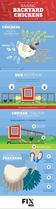 A great guide to raising backyard chickens in a holistic manner from a chicken tractor to alternating coop runs.