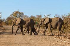 Auch Safaris sind auf der Garden Route möglich. Zum Beispiel im Addo Elephant Park nahe Port Elizabeth. Neben Elefanten gibt es hier auch die anderen Vertreter der berühmten Big Five.