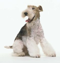 the ultimate accessory: a wire fox terrier
