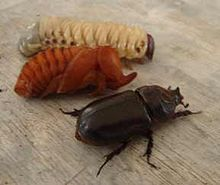 Larva, Pupa, Imago Rhino Beetle, Rhinoceros, Zoology, Bugs, Character Design, Animals, Beetles, Spiders, A4