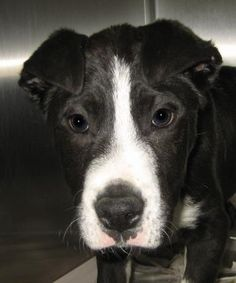 2 / 12 Petango.com – Meet Bixby - 011412i, a 3 months 27 days Terrier, Pit Bull / Mix available for adoption in TUPELO, MS Contact Information Address 2400 S Gloster Street, TUPELO, MS, 38801 Phone (662) 841-6500 Website http://www.tupeloleehumane.org Email info@tupelo-leehumane.org