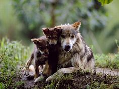Wolf Pups Snuggle Up To Their Mothers