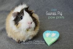 Poof with guinea pig paw print keepsake and other guinea pig articles