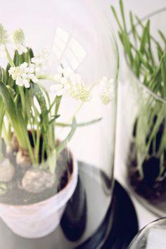 White grape hyacinth, photo by Netta-Natalia / Likainen Parketti