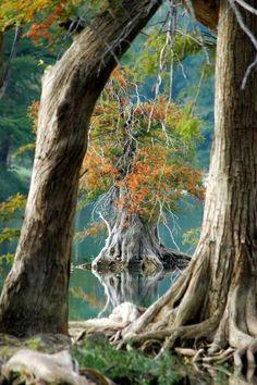 Cypress, Wimberley, Texas.  Photo: Robert Anschutz