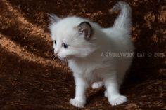 2015: Lady Sif A Zwollywood Cat. 5 weeks old. Ragdoll kitten, chocolate bicolour. Dark world litter.