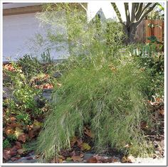 """This is Bamboo Muhly, a very cool plant that can take full sun, is very drought tolerant once established, and looks like a miniature bamboo. It doesn't spread like some bamboo's, and only get's about 6 to 8 feet tall. This would be a very good option for your back yard, and they even sell it at the """"fancy"""" nursery near your house."""