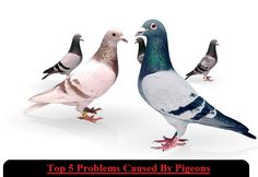 Top 5 #Problems Caused By #Pigeons - http://bit.ly/1Mk3QZz