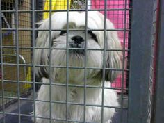 DEVORE,CA. EUTH LIST. 10/23/17. Zailey ID#A683877. 3 yr. old female Shih Tzu mix. Rescue only. Behavior. (unable to vaccinate due to temperment). Arrived 10/17/17.